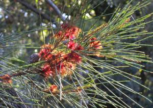 Female flowers on Allocasuarina littoralis      Photo: Jill More