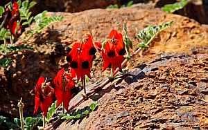 Sturt&#039;s Desert Pea. Photo: Alan Munns