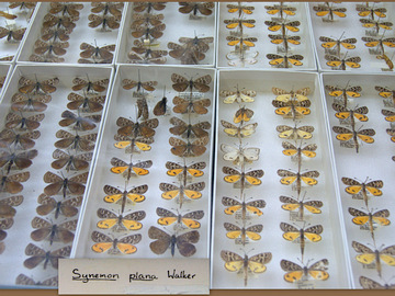 National Insect Collection Visit: A case of Golden Sun Moths. Photo: Fanny Karouta-Manasse.