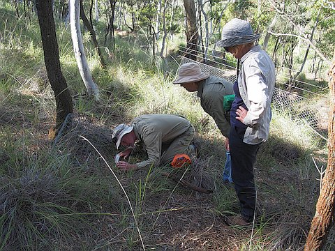 Tom North, Margaret Clarke and Barbara Podger, collecting Arachnorchis actensis on Mt Majura