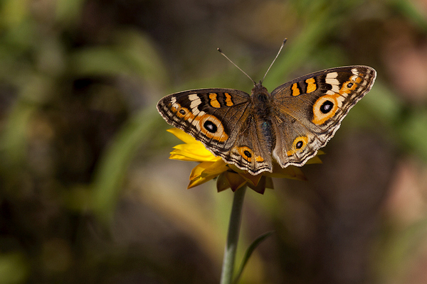 Meadow Argus (Junonia vallida) resting on a daisy