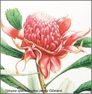 Jacqui Gilleland: Telopea Speciesissima