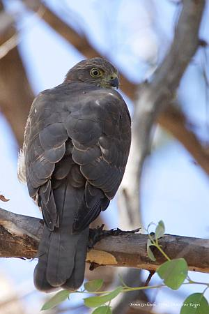 Brown Goshawk  Photo: Steve Rogers