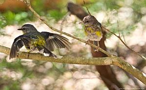 Eastern  yellow robin & juvenile    Photo: Steve Rogers