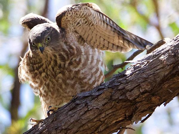 Juvenile Brown Goshawk  Photo: Steve Rogers