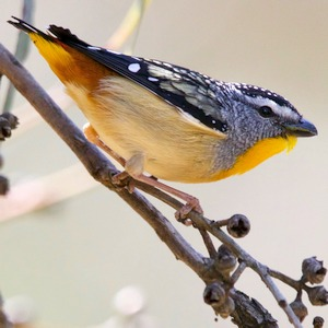 Spotted Pardalote (Photo: Chris Rogers)