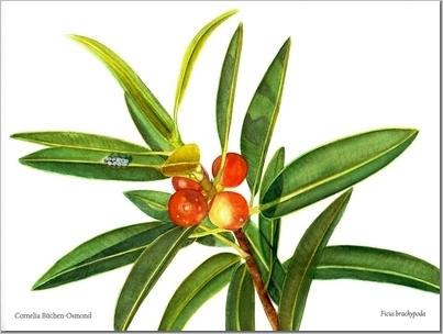 Ficus Brachypoda - Cornelia Buchen-Osmond