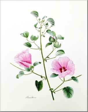 Gossypium sturtianum - Nilavan Adams