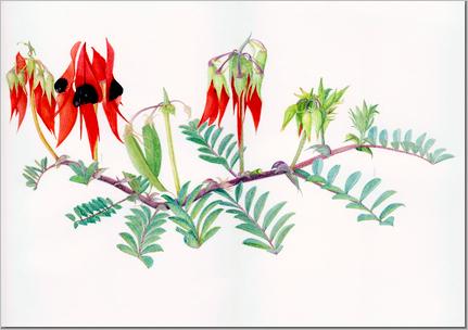 Swainsinia Formosa - Jann Ollerenshaw