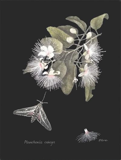 Planchonia careya - Marjorie Roche