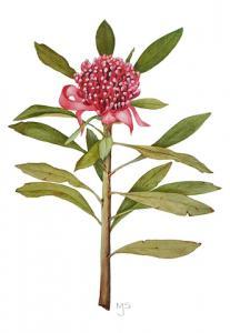 Telopea speciosissima - watercolour by Margaret Steele