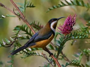 Eastern Spinebill (Photo: David Cook)