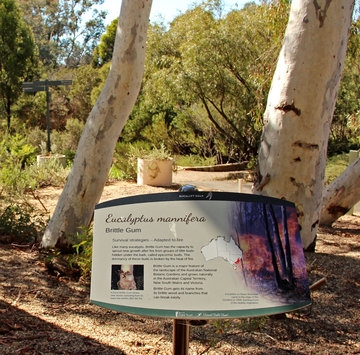 Stop 6 on the Eucalypt Discovery Walk - Eucalyptus mannifera (Photo: Alan Munns)