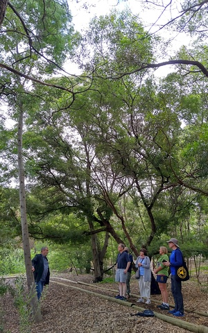 Group inspecting acacia blayiana