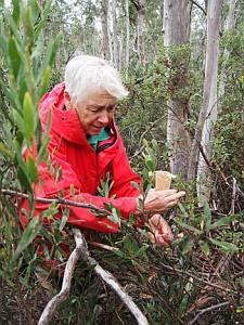Jo Walker collecting Coprosma hirtella, Square Rock Track. Photo: Tom North