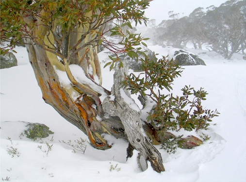 Snow gum in winter