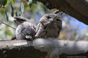 Tawny Frogmouths (photo: Steve Rogers)