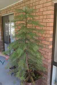 Wollemi Pine