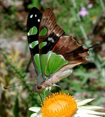 Macleay Swallowtail Butterfly in the ANBG (Photo: Tony Woods)