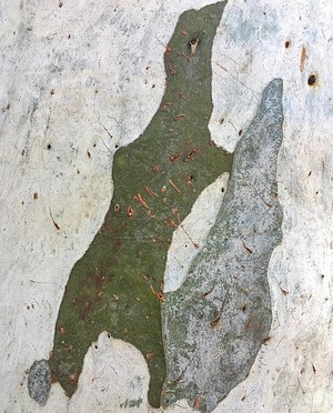 Brittle Gum Tree Bark - Photo: Ulli Brunnschweiler