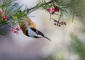 Eastern Spinebill on Grevillea sp - Photo: P Rooney