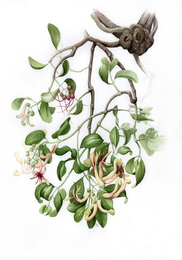 Muellerina celastroides  on Banksia integrifolia (Painting, in the library,  by Gillian Scott)