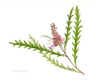 Grevillea 'Burgundy Beauty' - watercolour by Cornelia Büchen-Osmond